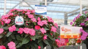 SunPatiens Sakata Medal of Excellence Feature