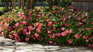 Megawatt Rose Green Leaf Begonia Color Code: PAS Kieft 2017, Early Release Landscape, Seed 08.15 Santa Paula, Mark Widhalm BombardierRoseGreen02_02.JPG BEG15-19626.JPG
