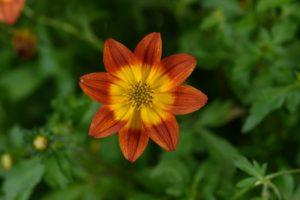 Bidens 'Blazing Glory' from Danziger Flowers.