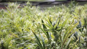 Cannabis Crop Protection