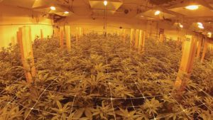 The Top 5 Myths About Cannabis Production Cleared Up