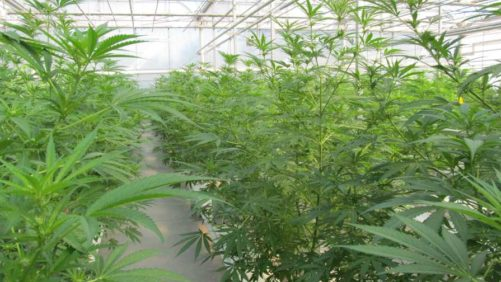 5 Factors To Consider In Your Cannabis Structure