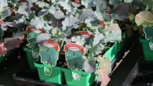 Chef Jeff's Broccoli for sale at Lowe's Greenhouses FEATURE