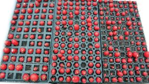 Hydroponic radishes in plug tray