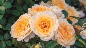 'Edith's Darling' from Weeks Roses Downton Abbey Garden Rose Collection