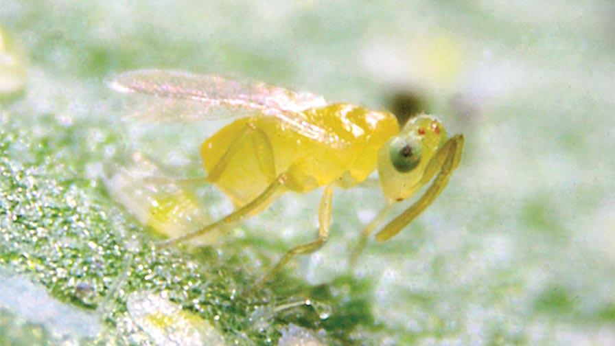 Eretmocerus eremicus adult, Parasitic Wasp