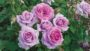 'Violets Pride' from Week's Roses Downton Abbey Garden Rose Collection