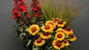 Starship Scarlet Lobelia, Mesa Bright Bicolor Gaillardia and Sirocco Anemanthele