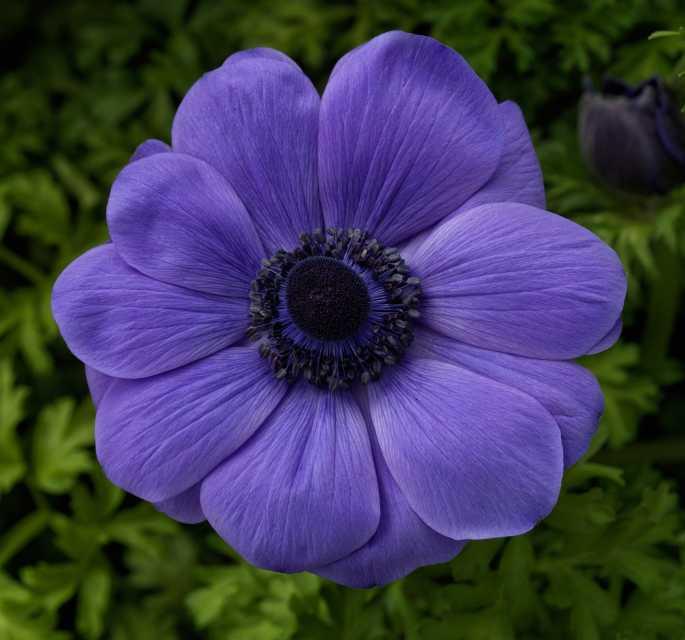Anemone Harmony Blue (Sakata Ornamentals)