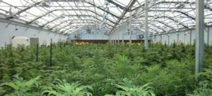 Cannabis ForwardGro