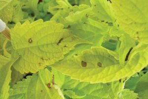 Downy mildew lesions on light coleus cultivars