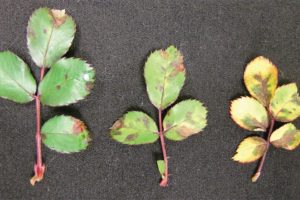 Downy mildew on upper side of rose leaves