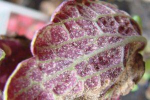 Downy mildew sporulation on underside of leaf