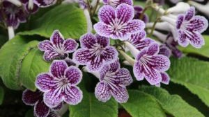 Streptocarpus Ladyslippers Grape Ice (Green Fuse Botanicals)