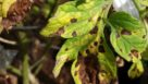 Leaf Septoria In Cannabis