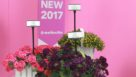 New verbena for 2017 from Selecta FEATURE