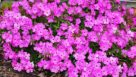 Phlox 'Pink Profusion' (Green Leaf Plants)