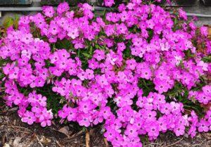 Phlox 'Pink Profusion' (Green Leaf Plants)