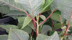 Poinsettia, Heavy Whitefly Infestation -Lower Leaves, Insect - Feature