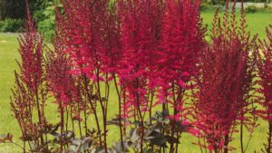 astilbe-chocolate-cherry-feature