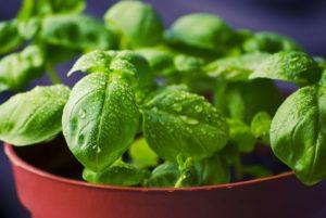basil-growing-indoors