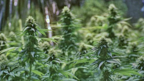 4 Tips On Picking The Best Lighting System For Cannabis Production