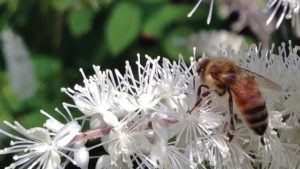 finneran bee on snakeroot