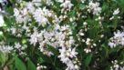deutzia-yuki-snowflake
