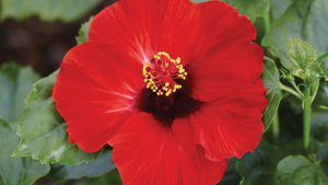 hibiscus-hollywood-hot-shot