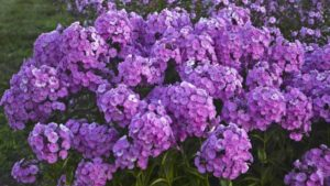 phlox-fashionably-early-flamingo-walters-gardens