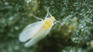 Floriculture Industry Working To Solve The Whitefly Problem