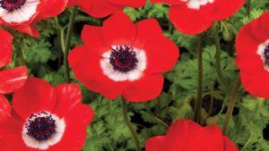 Anemone 'Harmony Scarlet' (Sakata Ornamentals)