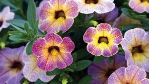 calibrachoa-chameleon-blueberry-scone_blooms-feature
