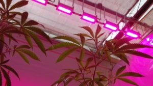 Study Shows Effectiveness Of Growing Cannabis Under LED Lighting