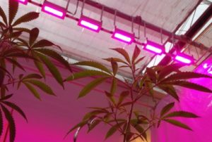 cannabis-under-led-lighting