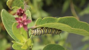 Offer Your Customers Host Plants For Caterpillars And Butterflies