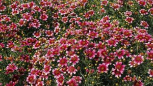 Coreopsis 'Madras Magic' (Terra Nova Nurseries)