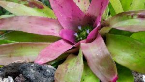 florida-bromeliad