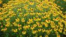 Rudbeckia × 'American Gold Rush' (Intrinsic Perennial Gardens)
