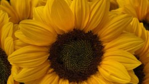 Sakata vincent-choice-sunflower