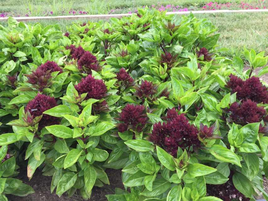 Basil 'Balsamic Blooms'