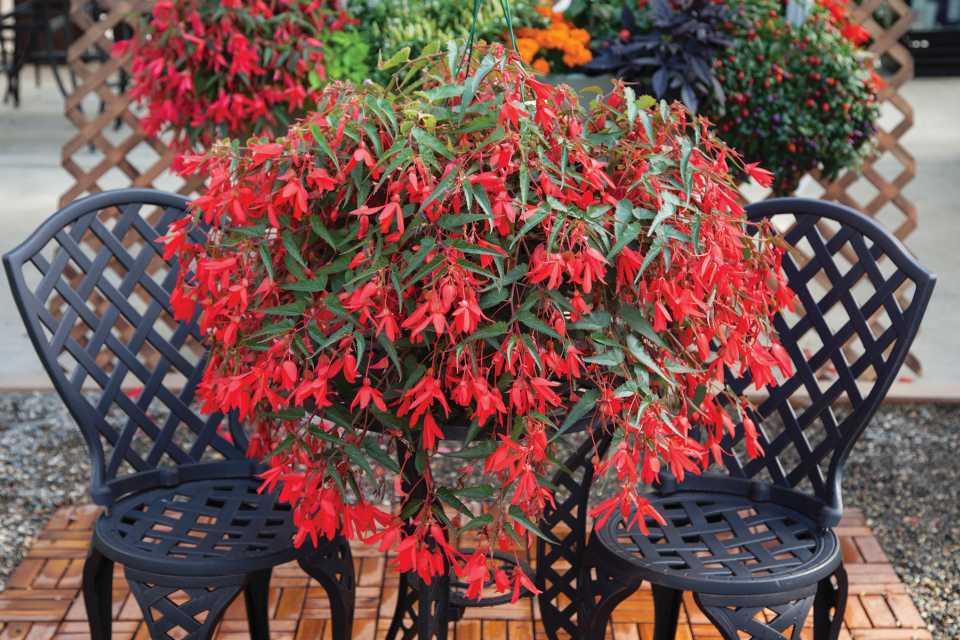 Begonia 'Bossa Nova Red'
