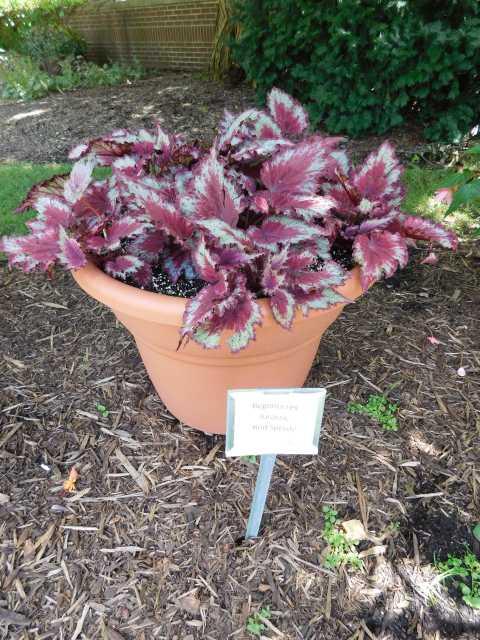 Begonia 'Jurassic Red Splash'