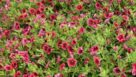 Calibrachoa Superbells Pomegranate Punch
