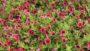 Calibrachoa Superbells Pomegranate Punch