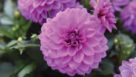 Dahlia 'Hypnotica Lavender'