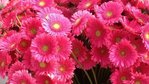 Dramm & Echter Donates Pink Gerbera Daisies During Susan G. Komen San Diego 3-Day Event