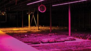 LED lights used in greenhouse