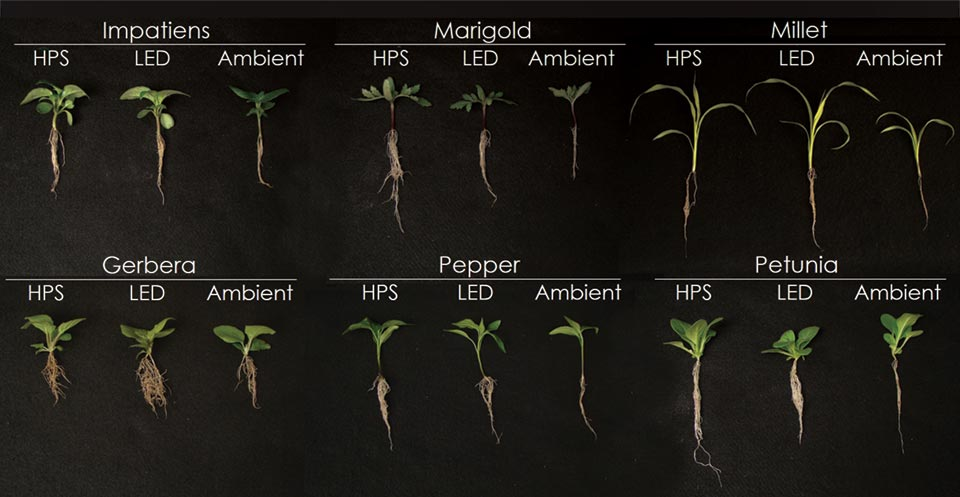 Evaluating Greenhouse Supplemental Lighting For Young And