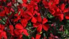 geranium-interspecific-caliente-fire